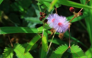 Mimosa pudica aka Touch me not