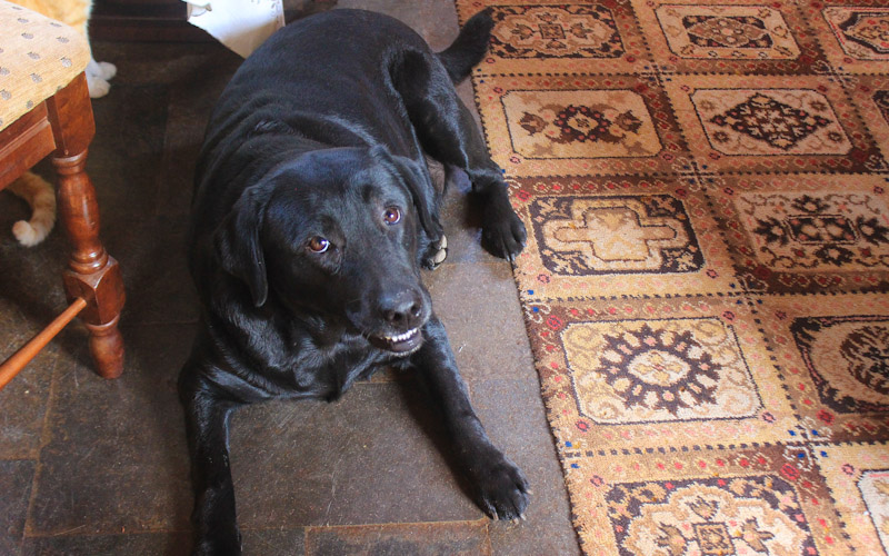 A labrador retriever dog laying on the floor, looking at the camera.