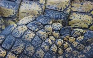 Crocodile skin close-up of crocodile limb. South Africa.