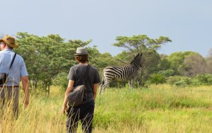 Spotting zebras and other animals on Entabeni Game Reserve golf course near Mokopane, South Africa