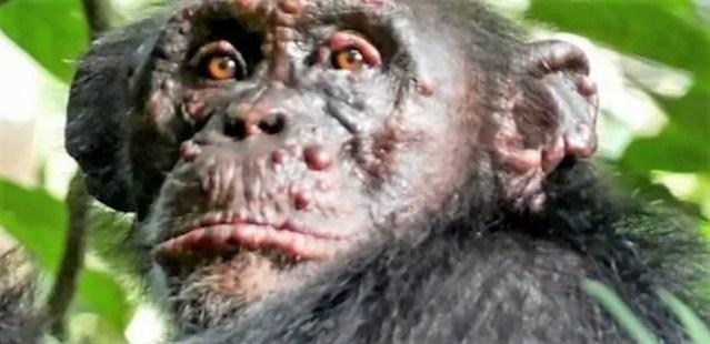 Αφρική: Άγριοι χιμπατζήδες χτυπήθηκαν από λέπρα – Ποιοι δοκιμάζουν εργαστηριακούς ιούς;
