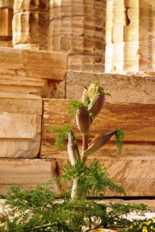 Budding giant fennel in front of the temple of Poseidon, Sounion.