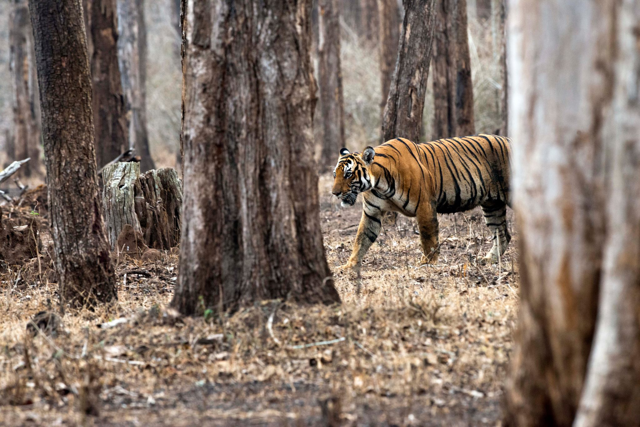 Ecological Niche The Bengal Tiger
