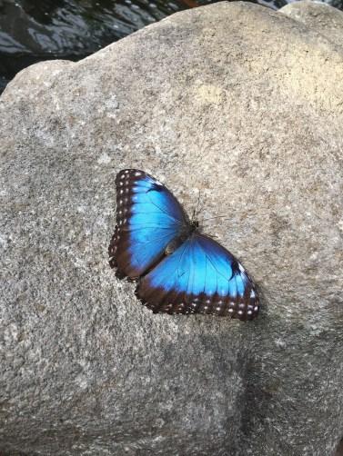 A beautiful, blue butterfly: taken by Bayne Froney