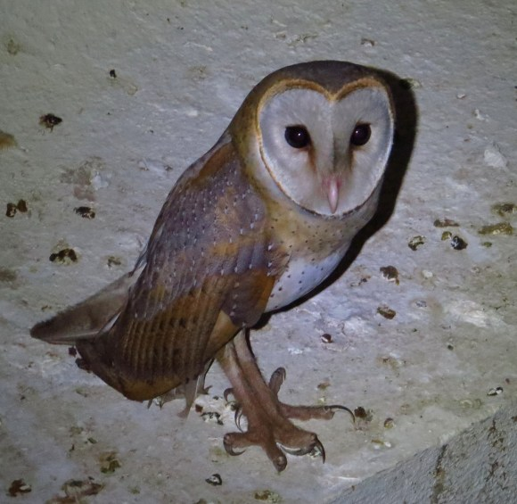 A pretty Barn Owl :)