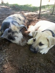 ark puppy diesel and bacon the piglet sleeping together cute animal picture