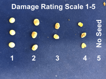 Soybean samples demonstrating the damage rating scale caused by stink bugs, ranging from no damage (1) to completely blank pods with no seed (5)