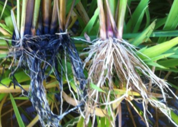 Color Difference in Rice Roots Hydrogen Sulfide Toxicity