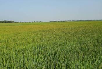 Potassium (K) deficiency across a rice field
