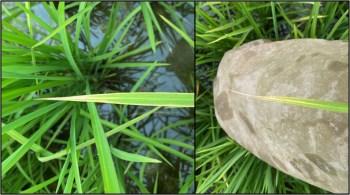 High yield disease of rice