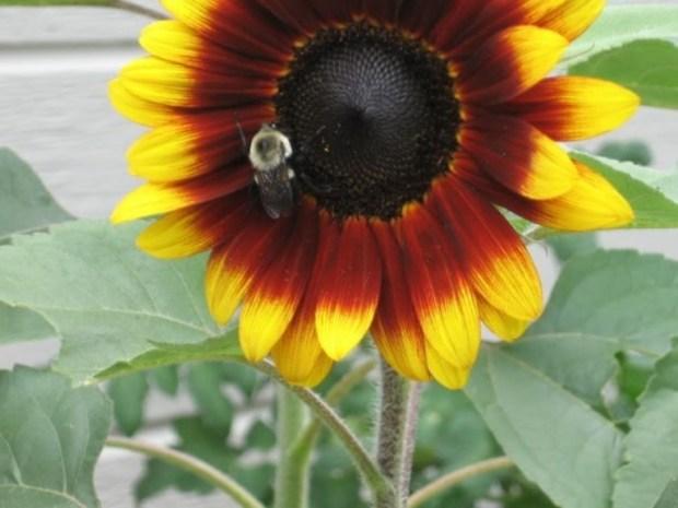 sunflower-jamiesthots