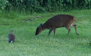 Rabbit and Reeves Muntjac Deer