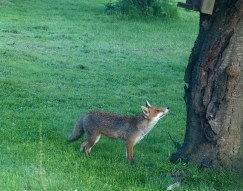 The Smaller of our two Foxes