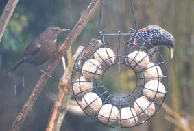 Mrs Blackbird and a Starling