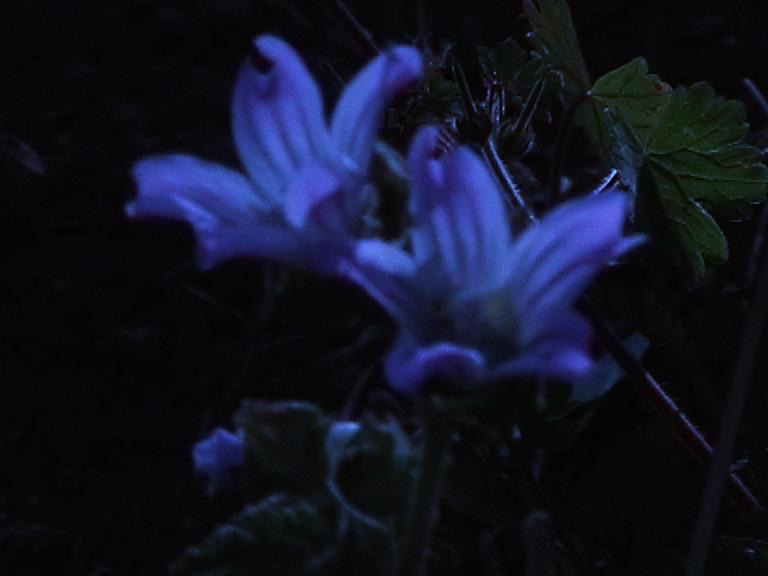 Flor Azul, Raul Domingues