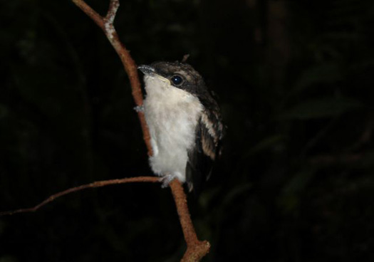 Juvenile Bar-winged Flycatcher-shrike