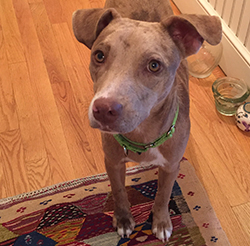 Marlo: 9-month-old, all american mix