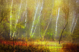 Larry Arends - White Birch in Fog