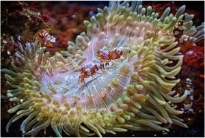 Anemone Crabs - Bob Reynolds