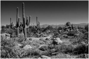 Tom Wilson - Field of Cactus