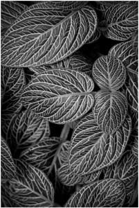 Bob Reynolds - Variegated Leaves