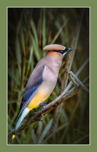 Jan Williams - Cedar Waxwing