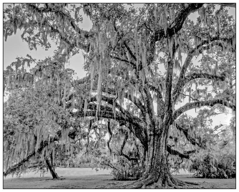 Bill Heider - Oak Tree