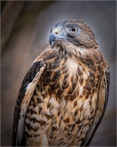 """Ken Olsen - """"Hawk Portrait"""""""