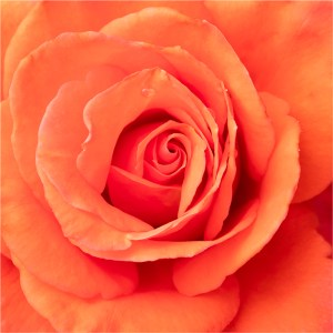 "Patty Colabuono - ""Heart of a Rose"""