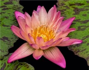 "Ken Olsen - ""Water Lily"""