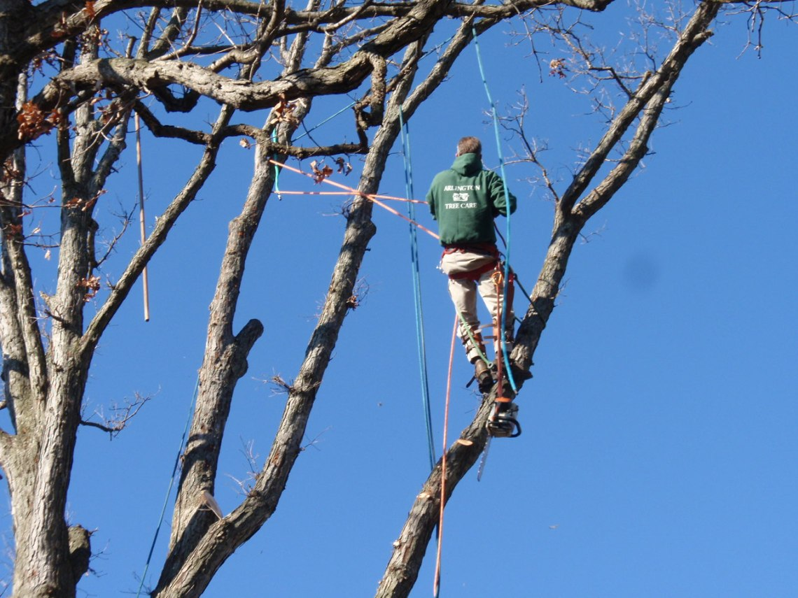 Pruning a large tree.