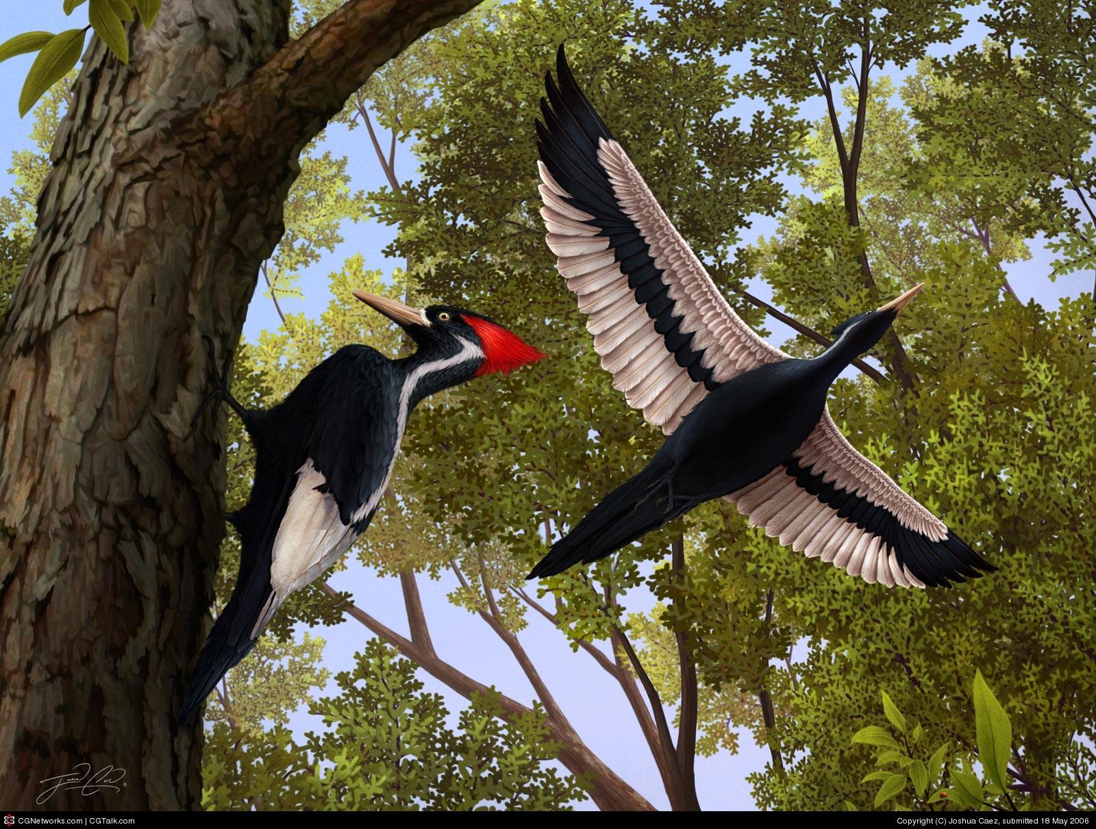 """Résultat de recherche d'images pour """"ivory billed woodpecker"""""""