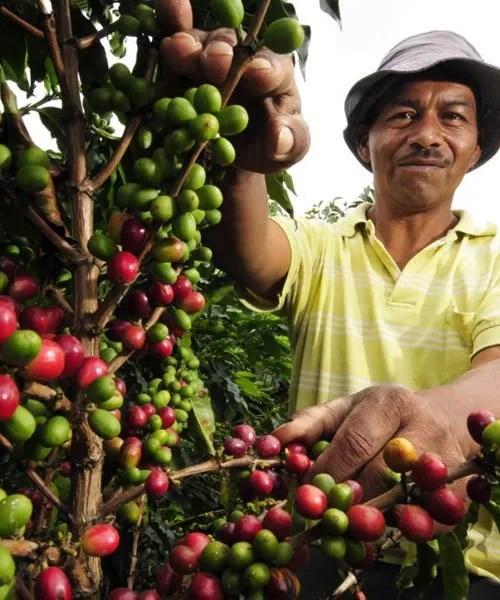 caficultura-de-guatemala