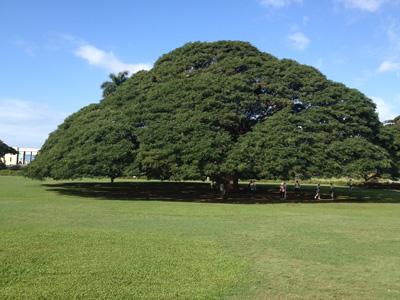 モアナルアガーデン この木なんの木
