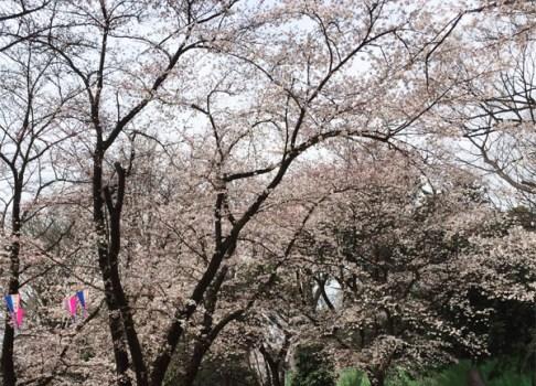 2015花見run その3別所公園・調