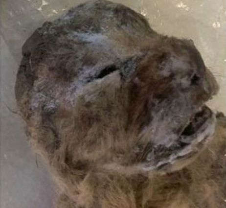 frozen-cave-lion-Academy-of-Sciences-of-Yakutia-