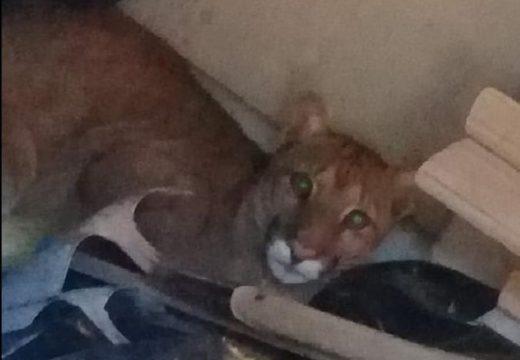 Armstrong. El puma fue encontrado por obreros de la construcción en la zona norte de la ciudad.