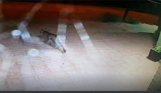 Vieron un puma en Armstrong y se inició una intensa búsqueda.