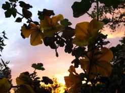 fremontodendron californicum couché de soleil 2