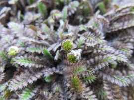 Leptinella squalida 'Platt's Black' flower