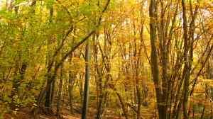 Fagus sylvatica en automne