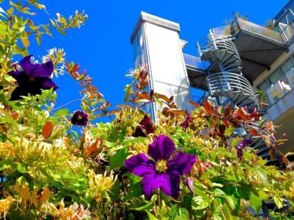 Urban clematis flowering