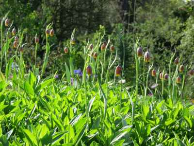 Fritillaria uva vulpis in saponaria officinalis bed
