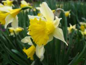 Narcissus sp