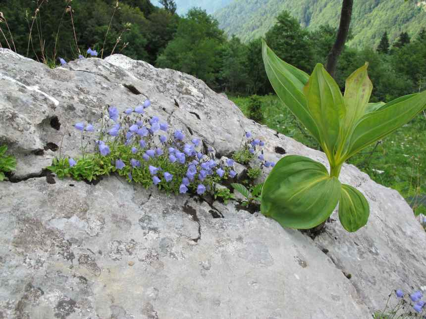 Campanula cochleariifolia (3)