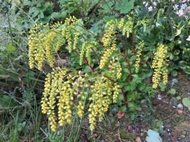 Chiastophyllum oppositifolium (2)