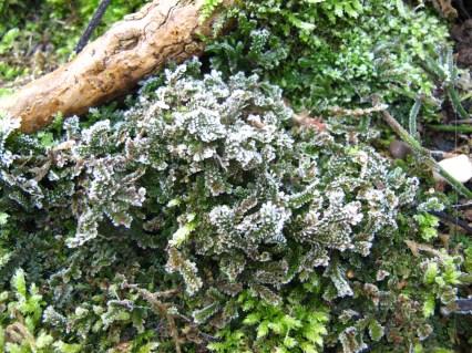 Selaginella kraussiana frozen