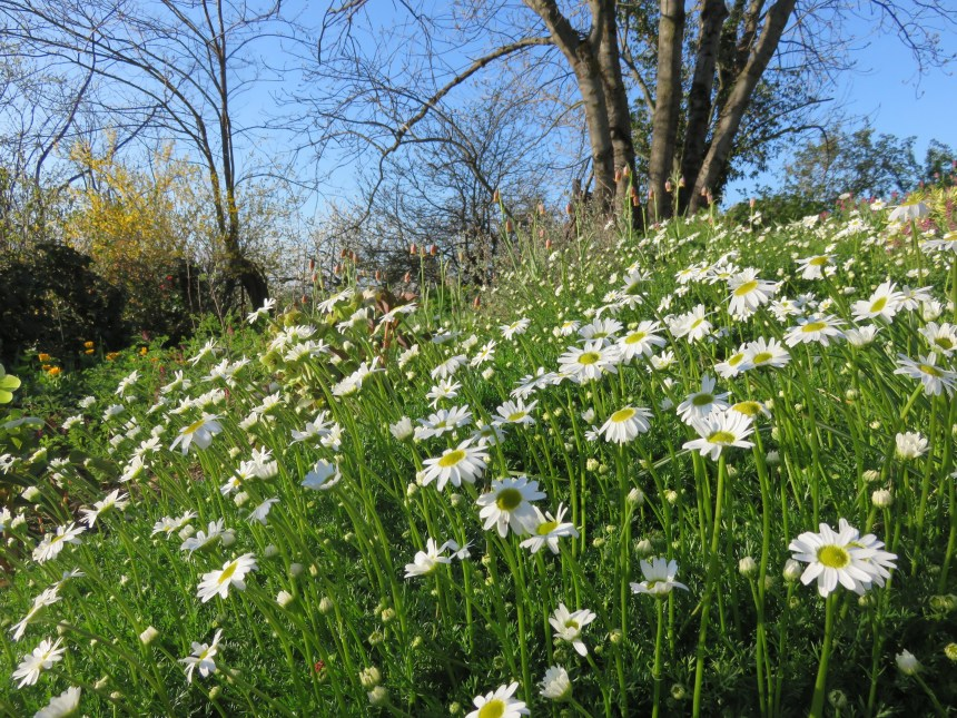 Matricaria tchihatchewii Boom floraison
