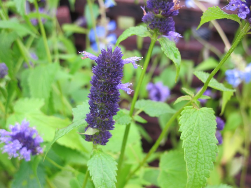 Agastache 'Blue Fortune' (6)