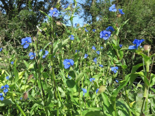 Commelina tuberosa1